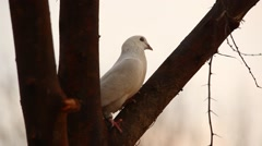 white Pigeon on the tree - stock footage