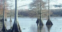 Bald Cypress Trees in a Swamp Stock Footage