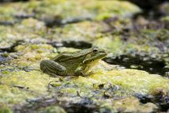 Green Frog on the lake Stock Photos