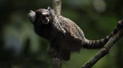 Rio de Janeiro: Tamarin Monkeys on Tree (1) - stock footage