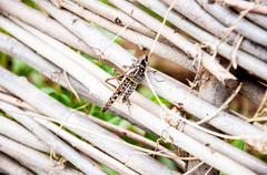 Invasion Locust - stock photo