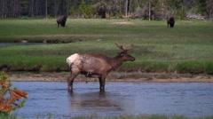 141222g bull elk in yellowstone - stock footage
