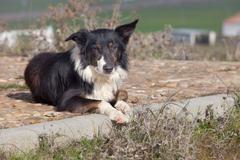 Laying sheepdog border collie Stock Photos