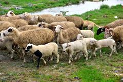 Healthy sheep, lambs and livestock - stock photo