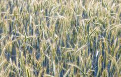 Corn field with spica and structured spear Stock Photos