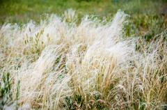 Rare species BEAUTIFUL FEATHER GRASS. Listed in the Red data book of the Russian Stock Photos