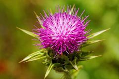 Violet thistle flower on poppy field Stock Photos