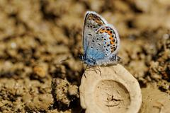The Silver-studded Blue (Plebejus argus) butterfly - stock photo
