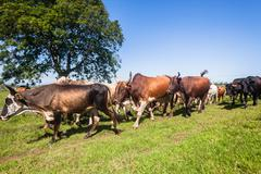 Cattle Herd Animals Stock Photos