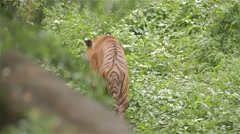 Tiger walking in the jungle - stock footage