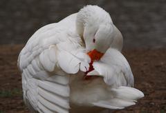 grooming white goose - stock photo