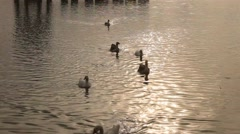 Group of ducks floating in gadisar lake jaisalmer in sunny weather in india Stock Footage