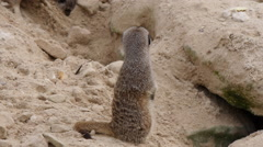 Meerkats in safari park Stock Footage