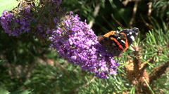 Admiral on butterfly bush 02 Stock Footage