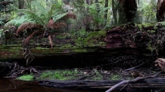 Temperate Rainforest 1 - stock footage
