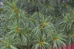 Stock Photo of Cedar needles