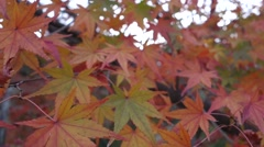 Maple leave - stock footage