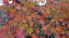 Maple leave 2 Stock Footage