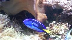 Blue fish in the aquarium - stock footage