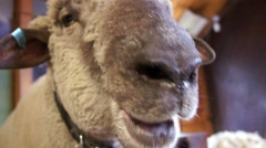 Chewing sheep, Agrodom - stock footage