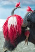 Yak at the Namtso Lake in Tibet Stock Photos