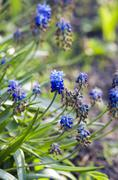 Blue flowers Muscari or murine hyacinth buds and leaves (selecti Stock Photos