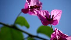 Closeup slider shot of magenta bouganvillea under a blue sky. Stock Footage
