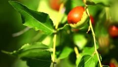 Close up of jujube berry on a jujube plant. Selective focus. Stock Footage