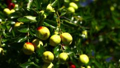 Vibrant color dolly shot of a bunch of jujubes on a jujube tree. Stock Footage