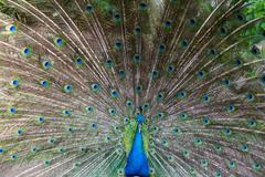 Preening peacock - stock photo