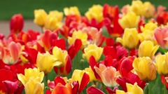 Spring-time Flower Bed - Multi-Colored Tulips Stock Footage
