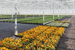 cultivation of colorful violets in a dutch greenhouse - stock photo