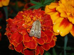 With flower moth Stock Photos