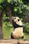 Big panda - stock photo