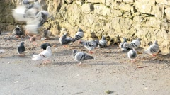 Many pigeon eating Stock Footage