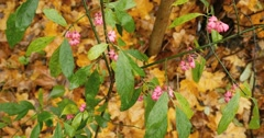 Pink autumn flowers with green leaves on branch Stock Footage