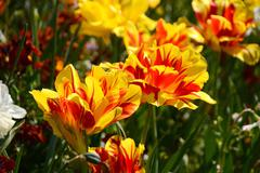Bold red and yellow Monsella tulips - stock photo