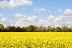 Field of bright yellow oilseed rape Stock Photos