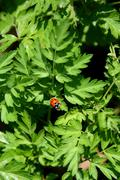 Ladybug on the foliage of Queen Anne's Lace Stock Photos
