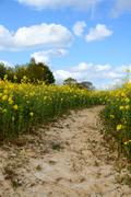 Path leads through a field of yellow oilseed rape - stock photo