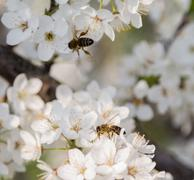 A honey bee on a flower Stock Photos