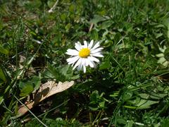 white-yellow flower in the grass - stock photo