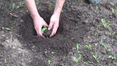 farmer hands planting pumpkin seedling in soil - stock footage