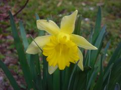 Stock Photo of to yellow flowering narcissus