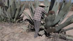 Man and agave in desert - stock footage