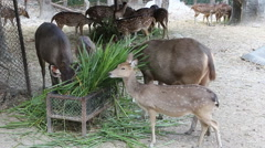 Deer eating grass at the zoo Stock Footage