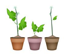 Stock Illustration of Three Ivy Gourd Plant in Ceramic Flower Pots