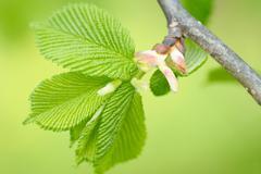Hazel leaves in spring Stock Photos