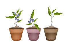 Stock Illustration of Olive Grove Plants in Ceramic Flower Pots