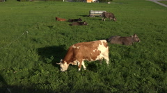 Austria mountain valley cows grazing 4K 057 Stock Footage